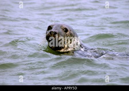 Grey Seal Halichoerus Grypus - Stock Photo
