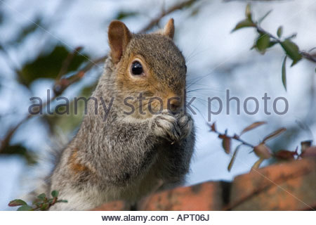grey squirrel on a garden wall eating a seed - Stock Photo