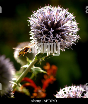 A wasp flying among globe thistle (Echinops bannaticus / blue globe). Picture by Jim Holden. - Stock Photo