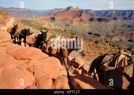 PACK MULE TRAIN RIDING ON SOUTH KAIBAB TRAIL SOUTH OF CEDAR RIDGE IN GRAND CANYON NATIONAL PARK ARIZONA USA - Stock Photo