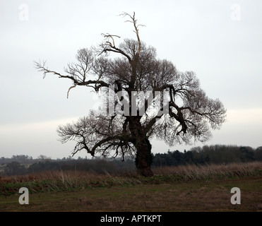 Native English Black Poplar tree Populus nigra, Butley, Suffolk, England - Stock Photo
