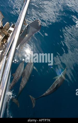 Spinner dolphins (stenella longirostris) ride the bow of a sailing boat; in Tetooroa Bay, Raiatea, French Polynesia. - Stock Photo