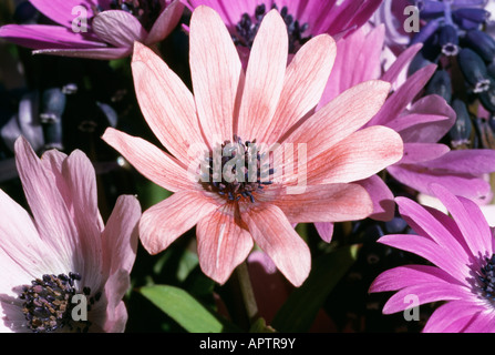 'Anemone blanda' [shades of pink ] [blue Muscari]  [spring time] - Stock Photo