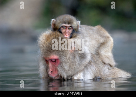 Japanese Macaque Macaca fuscata soaks in hot spring while carrying her baby Jigokudani National Park Japan - Stock Photo