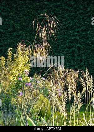 Ornamental grasses in evening light in a Wiltshire garden - Stock Photo
