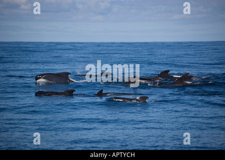 Long-finned Pilot Whales (Globicephala malaena) Kaikoura New Zealand - Stock Photo