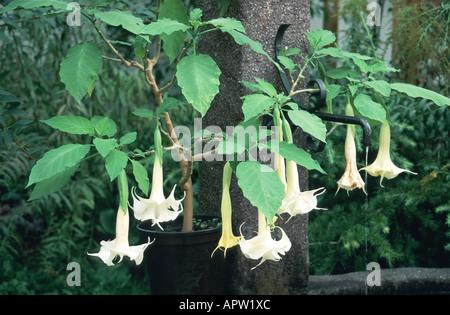 angel's trumpet tree (Brugmansia arborea, Datura arborea), blooming - Stock Photo