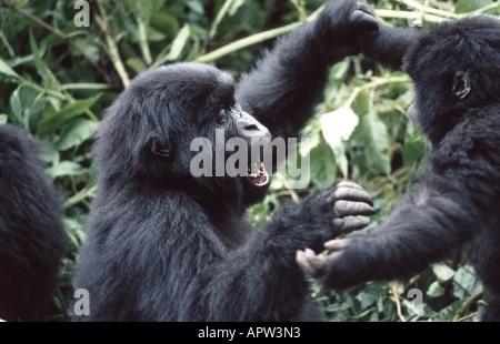 mountain gorilla (Gorilla gorilla beringei), two playing youngs, Rwanda, Parc National des Volcans - Stock Photo