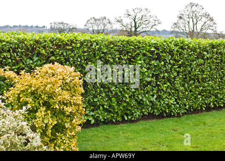 Neatly clipped laurel hedge in a Wiltshire garden UK - Stock Photo