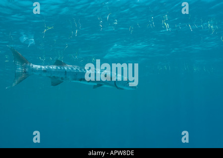 Great Barracuda close to the surface with seaweed and garbage floating in Little Cayman Cayman Islands - Stock Photo