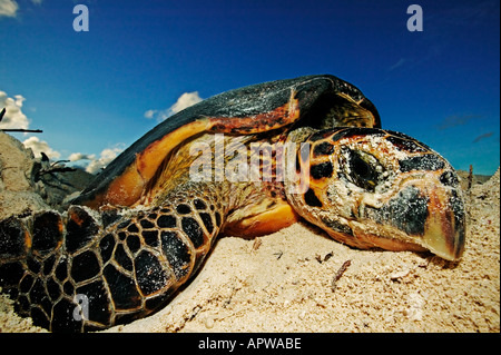 Hawksbill turtle Eretmochelys imbricata Endangered Laying eggs on beach Dist Tropical and subtropical oceans worldwide - Stock Photo