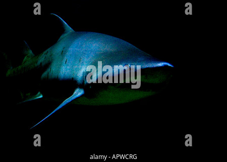Sand Tiger Shark on the prowl - Stock Photo