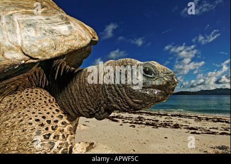 Giant tortoise Geochelone gigantea Vulnerable species On the beach Seychelles Cousine Island Dist Seychelles islands - Stock Photo