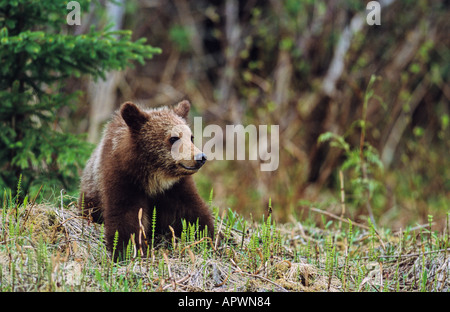 A cute grizzly bear cub sitting in a bed of horsetails