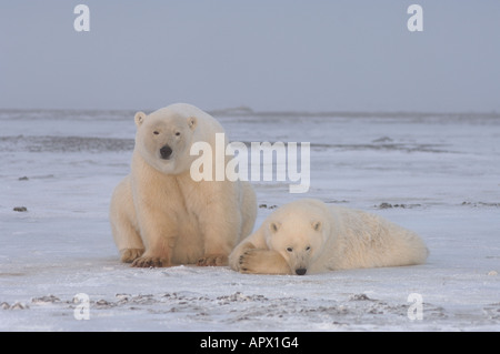 polar bear  sow with yearling cub on the pack ice 1002 coastal plain of the Arctic National Wildlife Refuge Alaska - Stock Photo