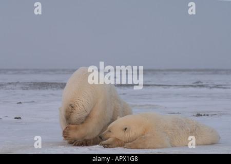 polar bear sow with yearling cub on the pack ice 1002 coastal plain of the Arctic National Wildlife Refuge Alaska - Stock Photo