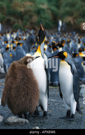 King Penguins with chick, Macquarie Island Australia - Stock Photo