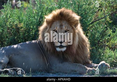 Lion, Serengeti NP Tansania