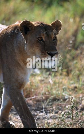 Lioness walking, Serengeti NP Tansania - Stock Photo