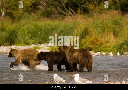 Geographic Point Katmai National Park ,Brown Bears fishing for Salmon in river, Alaska - Stock Photo