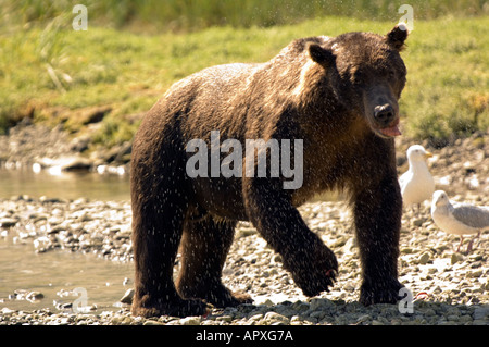 Geographic Point Katmia National Park, Brown bear shaking off water after a swim on trail, Alaska - Stock Photo