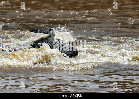 A crocodile moves in for the kill as a zebra struggles to cross the Mara River during the annual wildebeest and - Stock Photo