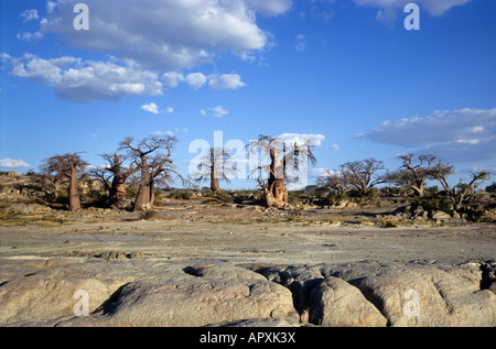 Scenic view of Baobab (Adansonia digitata) on Kubu Island - Stock Photo