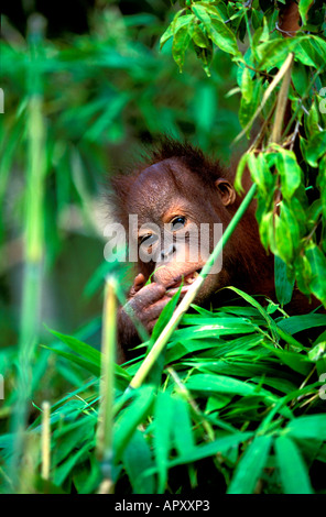 One Orang-Utan baby, Pongo Pygmaeus, Gunung Leuser National Park, Sumatra, Indonesia, Asia - Stock Photo