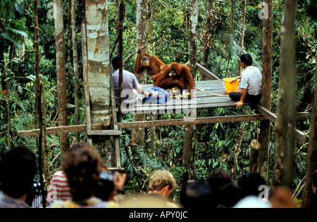 Feeding Orang-Utans at Orangutan rehabilitation center, Gunung Leuser National Park, Sumatra, Indonesia, Asia - Stock Photo