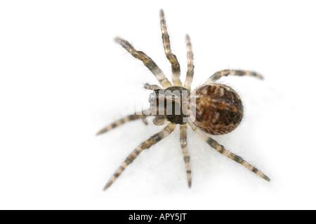 Furrow Orb-weaver. A young female Larinioides cornutus spider, family Araneidae, on white background. - Stock Photo