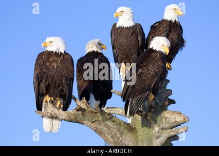 Multiple Bald Eagles perched on tree @ Homer Spit Kachemak Bay Kenai Peninsula Alaska Winter - Stock Photo