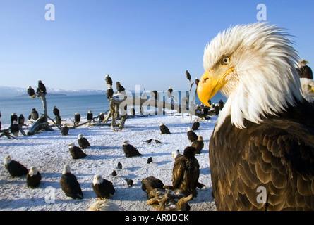 Annual gathering of Bald Eagles on Homer Spit w/closeup Kachemak Bay Kenai Peninsula Alaska - Stock Photo