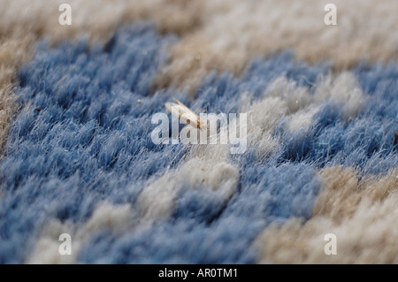 A clothes moth (Tineola bisselliella) is sitting on a carpet - Stock Photo