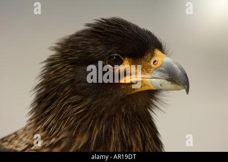 Striated Caracara Phalcoboenus australis New Island Falkland Islands portrait - Stock Photo