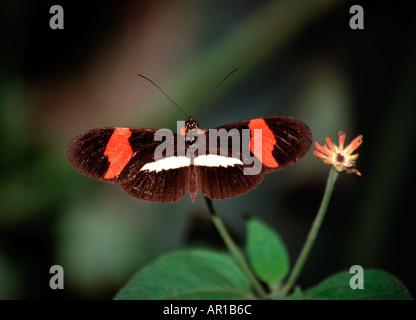 The Postman butterfly Heliconius melpomene amaryllis Costa Rica - Stock Photo