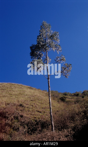 Young eucalyptus tree in the countryside near Sorata in Bolivia - Stock Photo