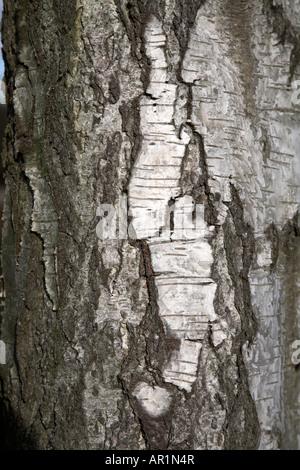 Detail of bark silver birch tree Betula pendula - Stock Photo