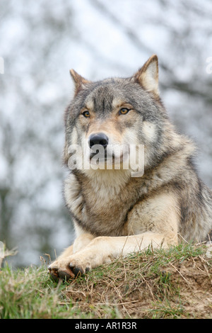 grey wolf sitting at Beenham Conservation Trust Reading - Stock Photo