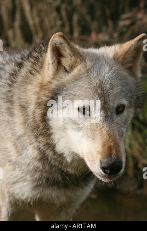 Grey wolf Beenham Wolf Conservation Trust - Stock Photo