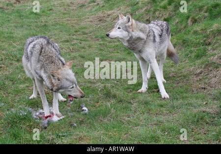 grey wolves eating rabbit at Beenham Reading - Stock Photo