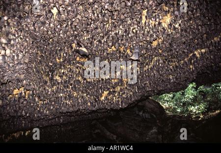 Rousettus aegyptiacus - Stock Photo