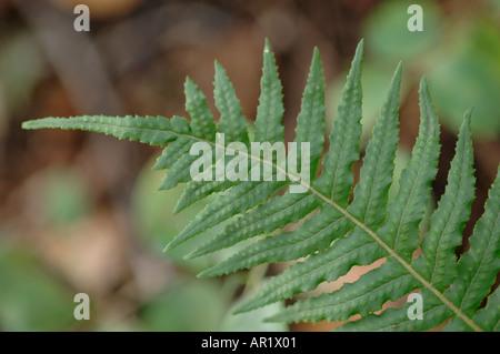 Licorice fern Polypodium Glycyrrhiza - Stock Photo