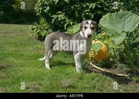 Chart Polski puppy - standing on meadow - Stock Photo