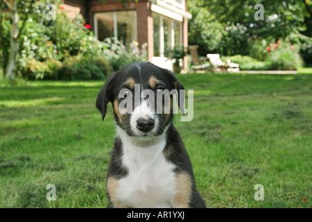Chart Polski puppy - portrait - Stock Photo