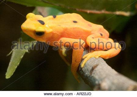 Panamanian Golden Frog - Stock Photo