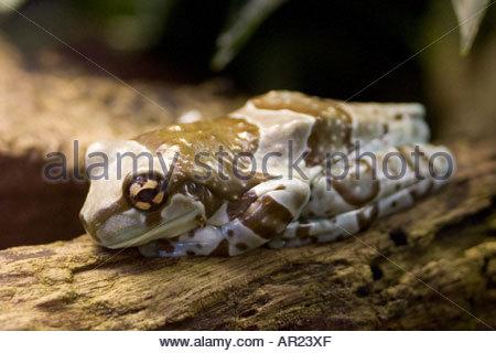 Amazon Milk Frog Trachycephalus resinifictrix formerly Phrynohyas resinifictrix - Stock Photo