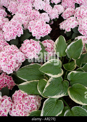 Plantain lily (Hosta) and big-leaved hydrangea (Hydrangea macrophylla 'Red Ace') - Stock Photo