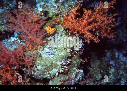Egypt Red Sea colourful soft corals and sponges - Stock Photo