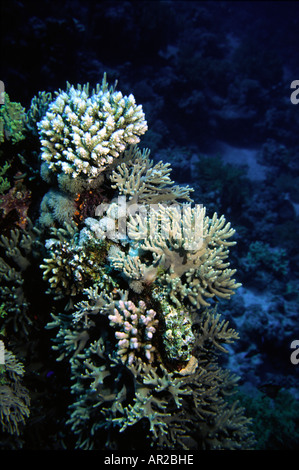 Egypt Red Sea hard corals - Stock Photo