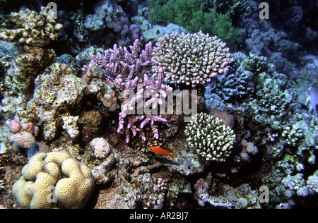 Egypt Red Sea hard corals at 15 metres depth - Stock Photo